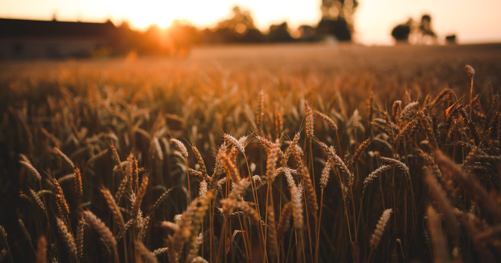field-grain-harvest-5980